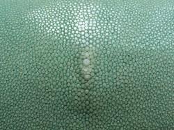 Grande peau de cuir de poisson galuchat gros grain poli vert Cuir en stock